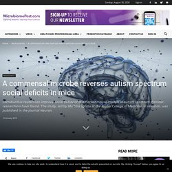 A commensal microbe reverses autism spectrum social deficits in mice