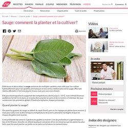 Sauge: comment la planter et la cultiver? - Jardinage