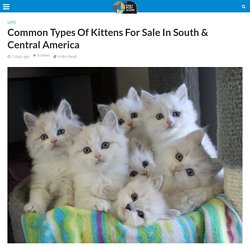 Common Types Of Kittens For Sale In South & Central America
