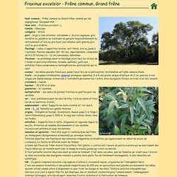 Frêne commun, Fraxinus excelsior.