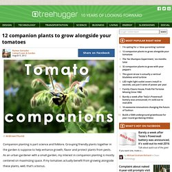 12-companion-plants-grow-alongside-your-tomatoes