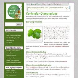 Companion Planting Cilantro and Coriander