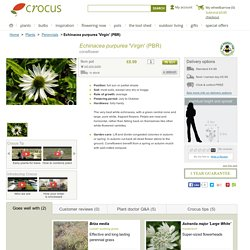 Buy coneflower Echinacea purpurea 'Virgin (PBR)': Delivery by Crocus