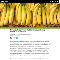 New study confirms that bananas are being driven to extinction