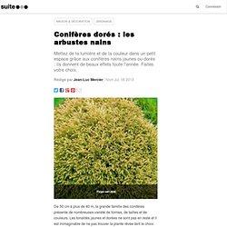 Conifères dorés : les arbustes nains: Très petits résineux jaunes ou dorés, de la couleur au jardin