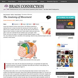 BrainConnection.com - The Anatomy of Movement
