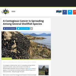 A Contagious Cancer Is Spreading Among Several Shellfish Species