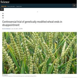 SCIENCEMAG 25/06/15 Controversial trial of genetically modified wheat ends in disappointment