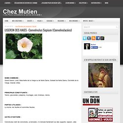 LISERON DES HAIES – Convolvulus Sepium (Convolvulacées)
