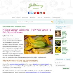 Cooking With Squash Flowers: Tips For Harvesting Squash Flowers