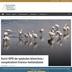 Suivi GPS de spatules blanches : coopération franco-hollandaise