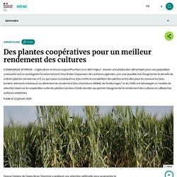 INRAE 23/01/20 AGROECOLOGIE - Des plantes coopératives pour un meilleur rendement des cultures