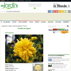 Corête du Japon, Kerria japonica