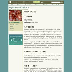 Corn Snake Fact Sheet