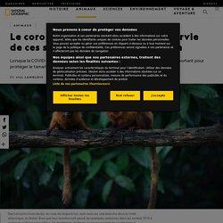 NATIONAL GEOGRAPHIC 25/08/20 Le coronavirus menace (aussi) la survie de ces singes en voie de disparition Lorsque la COVID-19 a balayé le Brésil, elle a entravé un programme de vaccination important pour protéger le tamarin-lion doré, en voie de disparit