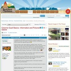Coturnix Quail Basics- Information and Pictures Galore
