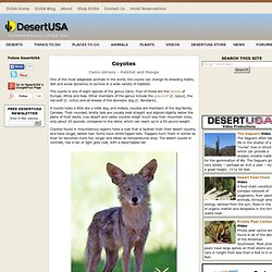 Coyotes Coyote Facts and Photos
