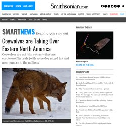 Coywolves are Taking Over Eastern North America