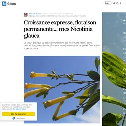 Croissance expresse, floraison permanente... mes Nicotinia glauca