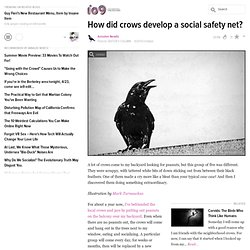 How did crows develop a social safety net?