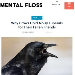 Why Crows Hold Noisy Funerals for Their Fallen Friends