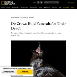 Do Crows Hold Funerals for Their Dead?