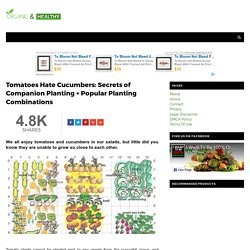 Tomatoes Hate Cucumbers: Secrets of Companion Planting + Popular Planting Combinations - ORGANIC AND HEALTHY