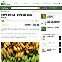 Cómo cultivar bananas en tu hogar - Notas - La Bioguía