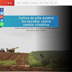 Cultivo de piña quiebra los escudos contra cambio climático - Ojo al Clima