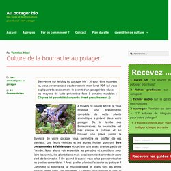 Culture de la bourrache au potager
