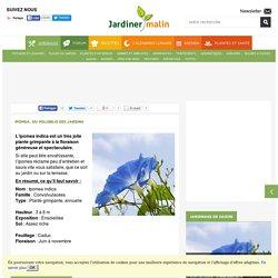 Ipomea : culture, semis et conseils d'entretien