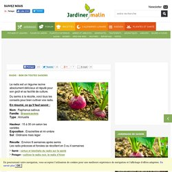 Radis : culture, semis, entretien et récolte des radis