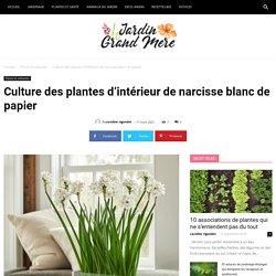 Culture des plantes d'intérieur de narcisse blanc de papier