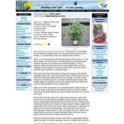 Radermachera sinica - Denver Plants