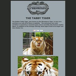 The Tabby Tiger