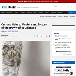 Curious Nature: Mystery and history of the gray wolf in Colorado