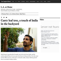 Curry leaf tree, a touch of India in the backyard