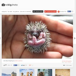 cute baby hedgehog photo