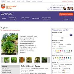 Cycas: planter et rempoter les cycas