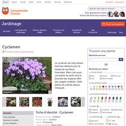 Cyclamen: planter et cultiver