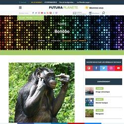 Bonobo - Chimpanzé nain - Pan paniscus