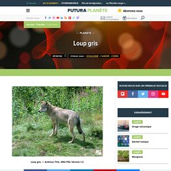 Loup gris - Canis lupus
