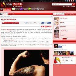 Muscle antagoniste - antagoniste