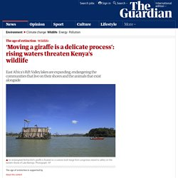 'Moving a giraffe is a delicate process': rising waters threaten Kenya's wildlife