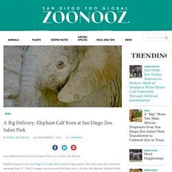 A Big Delivery: Elephant Calf Born at San Diego Zoo Safari Park