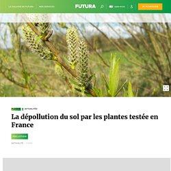 La dépollution du sol par les plantes testée en France
