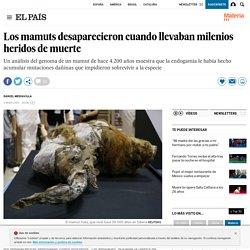 Los mamuts desaparecieron cuando llevaban milenios heridos de muerte