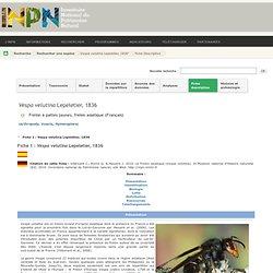 Vespa velutina - Frelon à pattes jaunes, frelon asiatique - Description, fiches détaillées