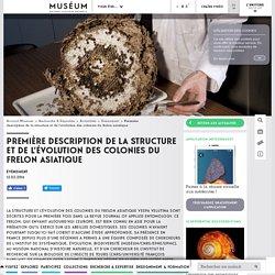 Première description de la structure et de l'évolution des colonies du frelon asiatique