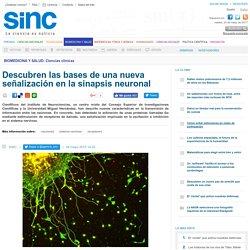Descubren las bases de una nueva señalización en la sinapsis neuronal